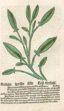 """Abbildung des Salbeis im """"Gart der Gesuntheit"""" (1485)"""